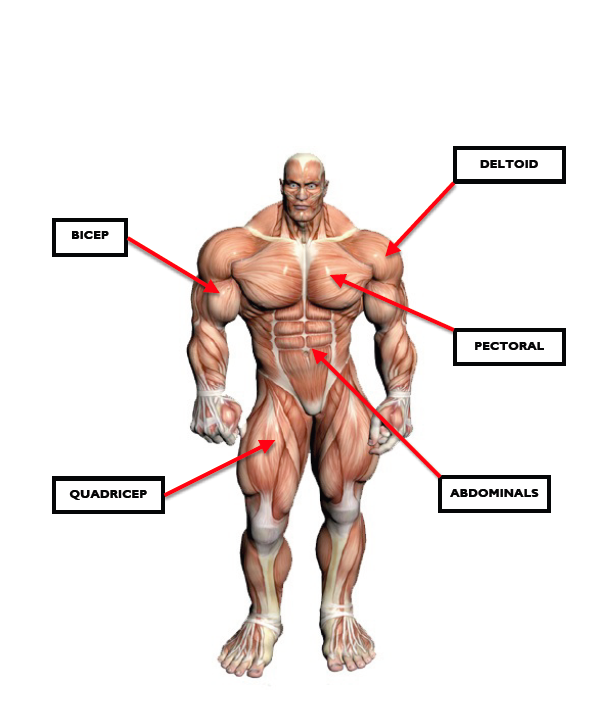 9. muscular system - the ilfracombe academy pe department, Muscles