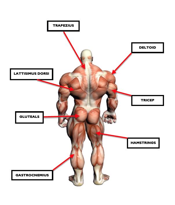 Skeletal muscle or voluntary muscles: